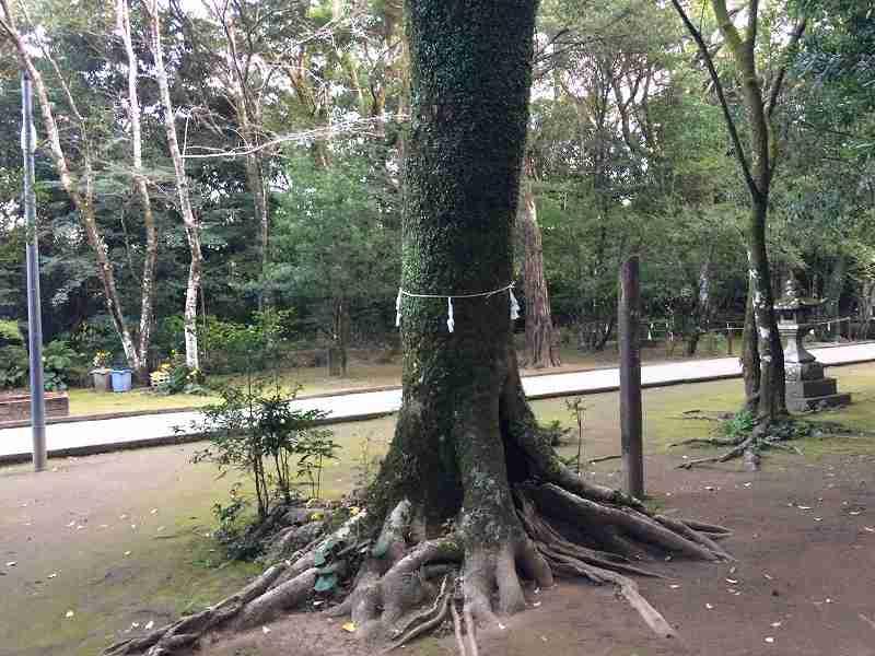 【ジェットスターで行く】青島から鬼の洗濯岩を見て飫肥まで【宮崎】社殿そばのご神木