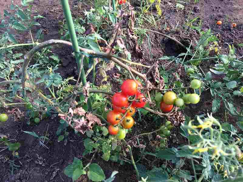 【夏も盛り】スローに楽しむ家庭菜園のすすめ4【ハマスゲに注意】3