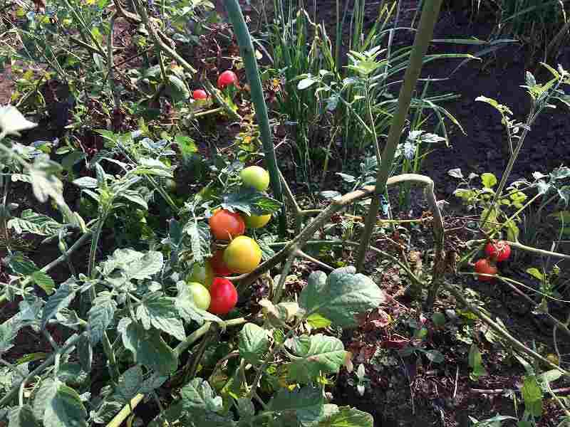 【夏も盛り】スローに楽しむ家庭菜園のすすめ4【ハマスゲに注意】4