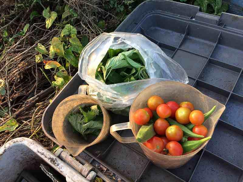 【夏も盛り】スローに楽しむ家庭菜園のすすめ4【ハマスゲに注意】18
