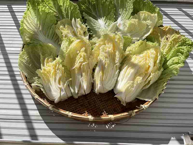 【意外と簡単!】いただいた白菜を漬けてみる【塩分がポイント】8